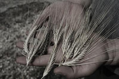 barley1-56a01f155f9b58eba4af1008